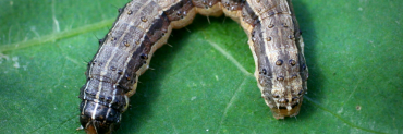 Fall armyworm larva (caterpiller)