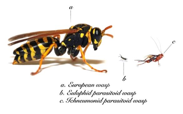 European wasp and parasitoid wasp. Image credit: P Vertichel under Creative Commons licensing