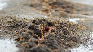 Anthill with red fire ants