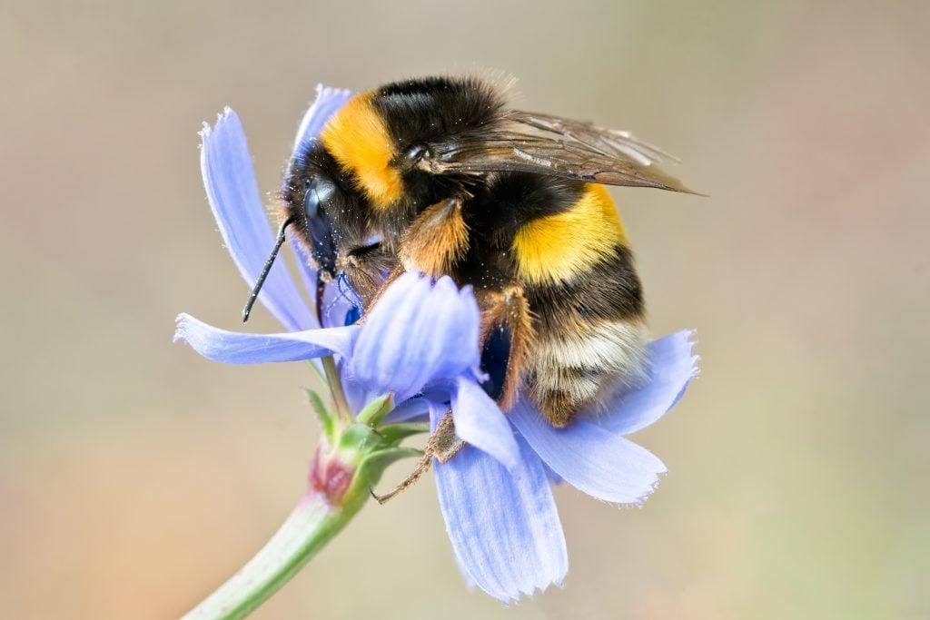 Bumblebee on blue wild flower