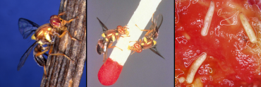 3 images of fruit fly and maggots in a tomato