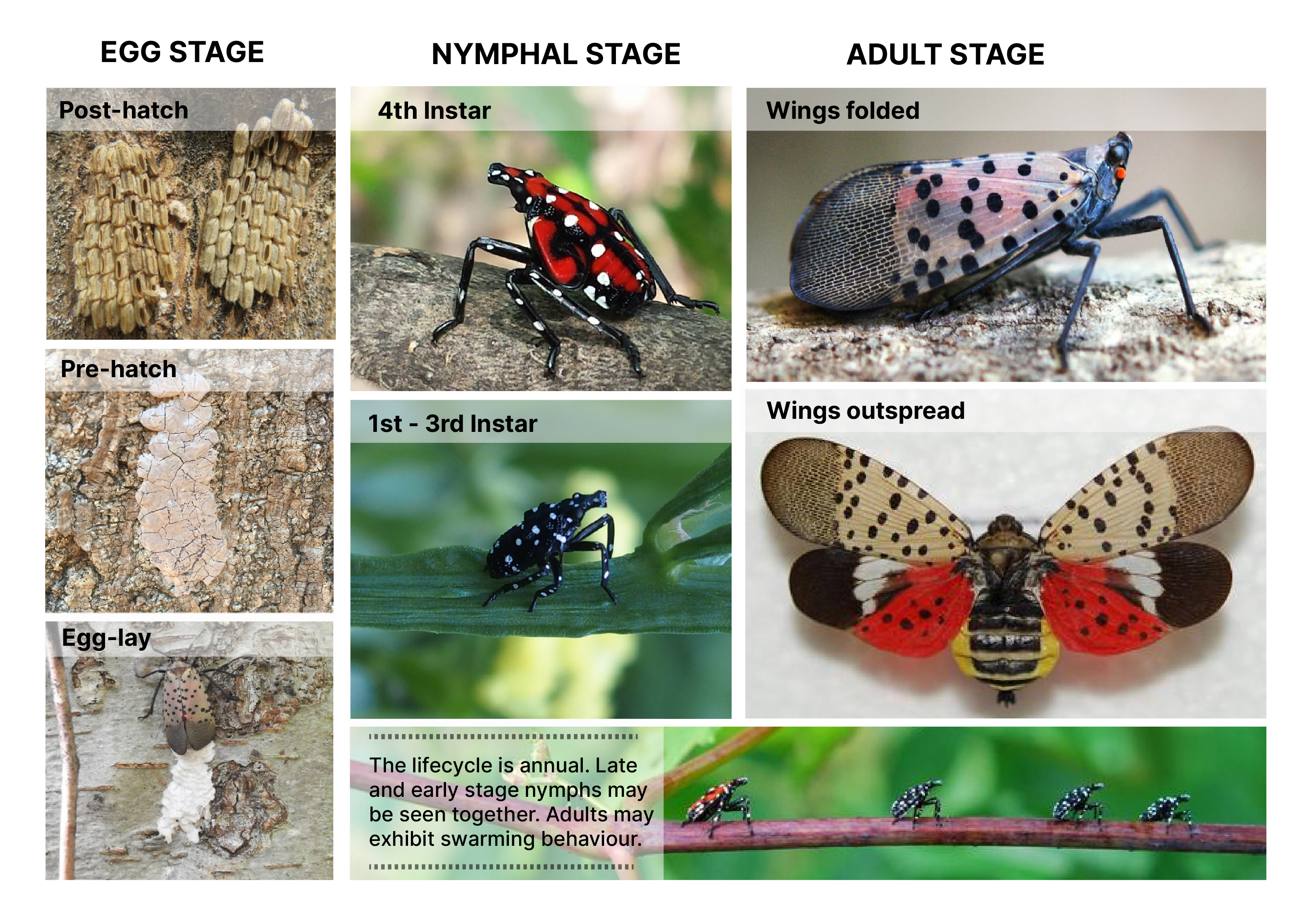 Montage of spotted lanternfly growth stages from eggs to adult