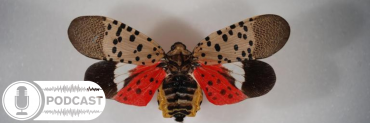 Spotted lanternfly with wings spread
