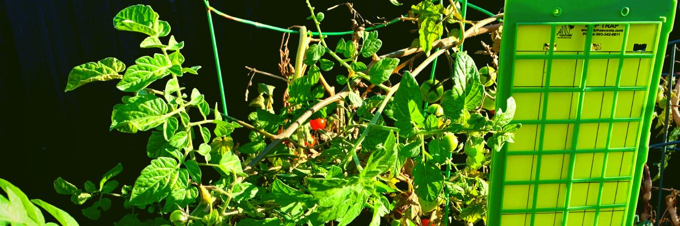 Stick trap in a tomato garden