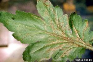 Leaf mines caused my serpentine leaf miner