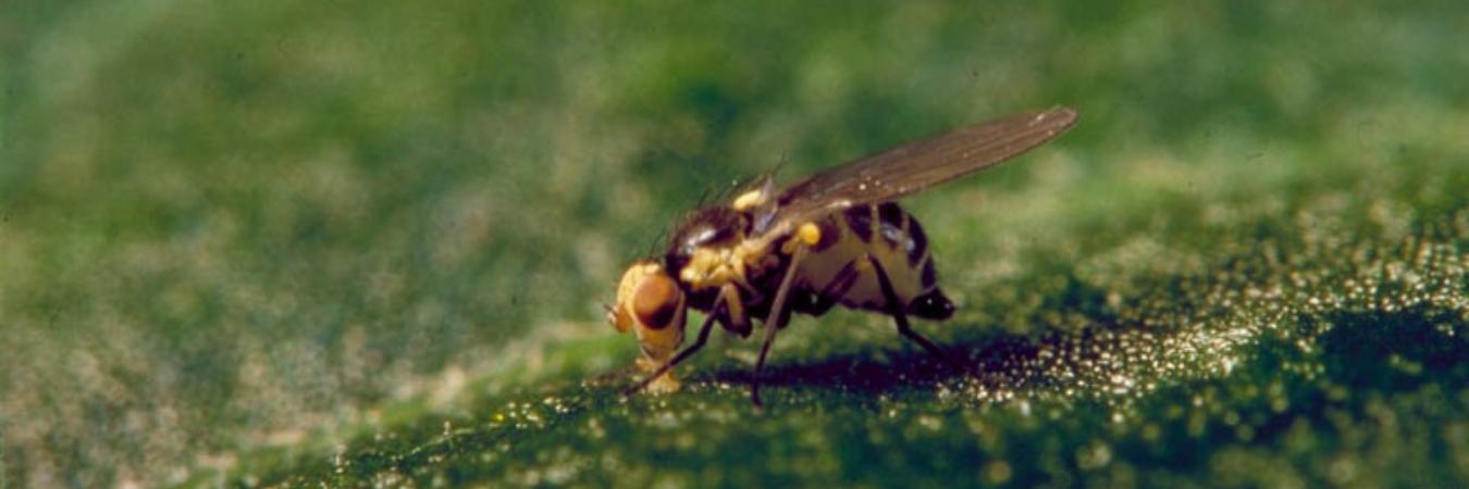 adult serpentine leafminer