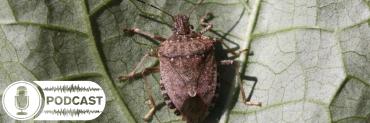 Brown marmorated stink bug on a leaf