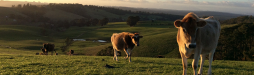 Jersey dairy cows