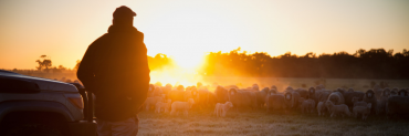 Farmer watching sheep on sunset