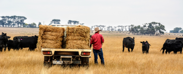Young farmer with back to camera leans against hay bales on ute with cattle in background.