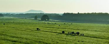 Grazing sheep in a paddock