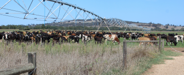 Dairy cows in an irrigated paddock